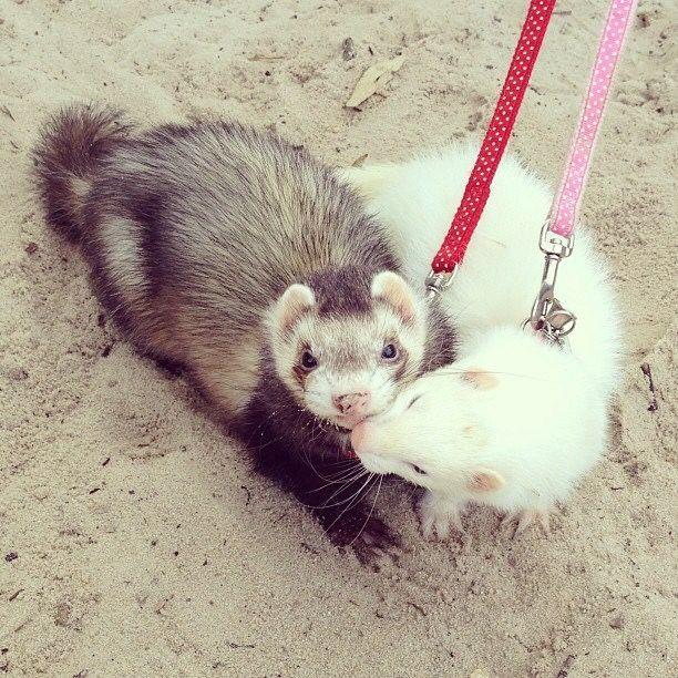 Theempathogen Cute Ferrets Baby Ferrets Pet Ferret