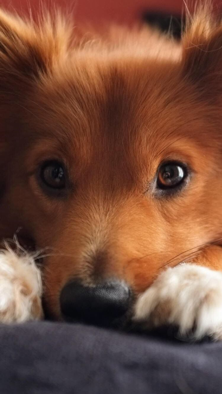 Iphone And Android Wallpapers Cute Puppy Wallpaper For Iphone And Android Cute Puppy Wallpaper Baby Dog Photos Cute Puppies