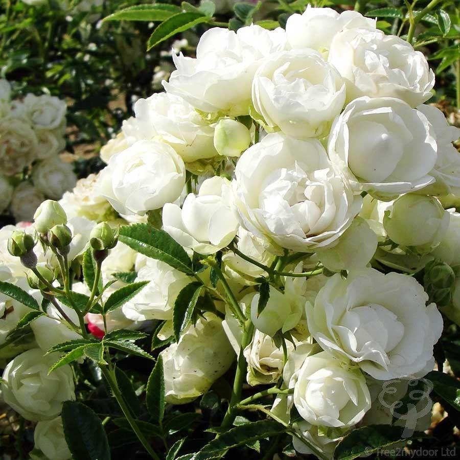 Anniversary Roses   Anniversary Rose Bushes from Tree2mydoor UK ...