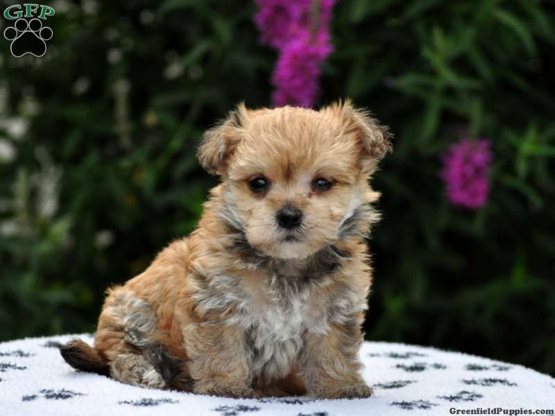 Irvee morkie puppy for sale in gap pa puppies for sale