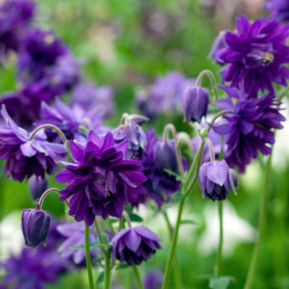 Aquilegia Vulgaris Columbine Garden Ideas For Next Year