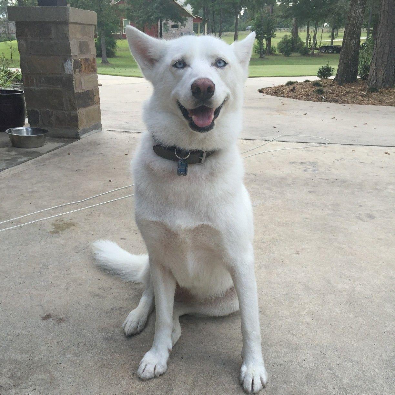 Stray Pet Alert - Missing White Siberian Husky (Conroe, TX 77316 ...