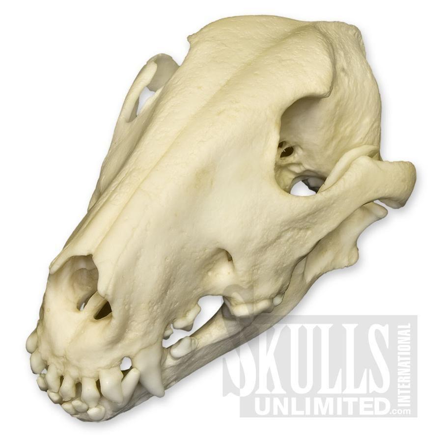 Oklahoma City Ok Dog Skull Bull Terrier Dog Dogs