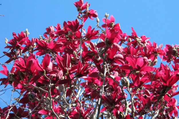 Jury Magnolias Japanese Magnolia Tree Garden Flower Beds Red Flowers