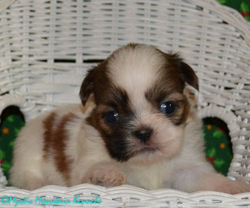 Puppies For Sale Teacup Tiny Yorkies Imperial Shih Tzu Tennessee