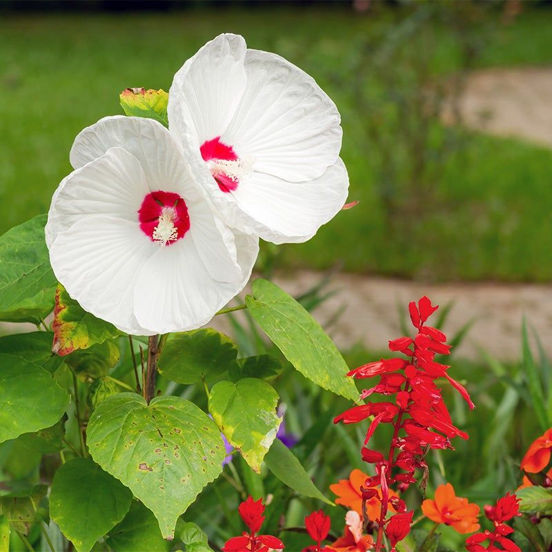Luna White Hibiscus In 2020 Hardy Hibiscus White Hibiscus Hibiscus