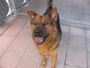 Brinks is an adoptable Shepherd Dog in Fort Lauderdale, FL. UPDATE - Brinks is now healthy and a robust 50+ lbs. He is energetic and needs an active home. Brinks needs an experienced dog owner to give...