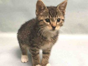 Fostered Rocky A1106859 2mos Male Brn Tabby White Dsh Underweight Kitten Needs Foster Cat Adoption Foster Cat Cats