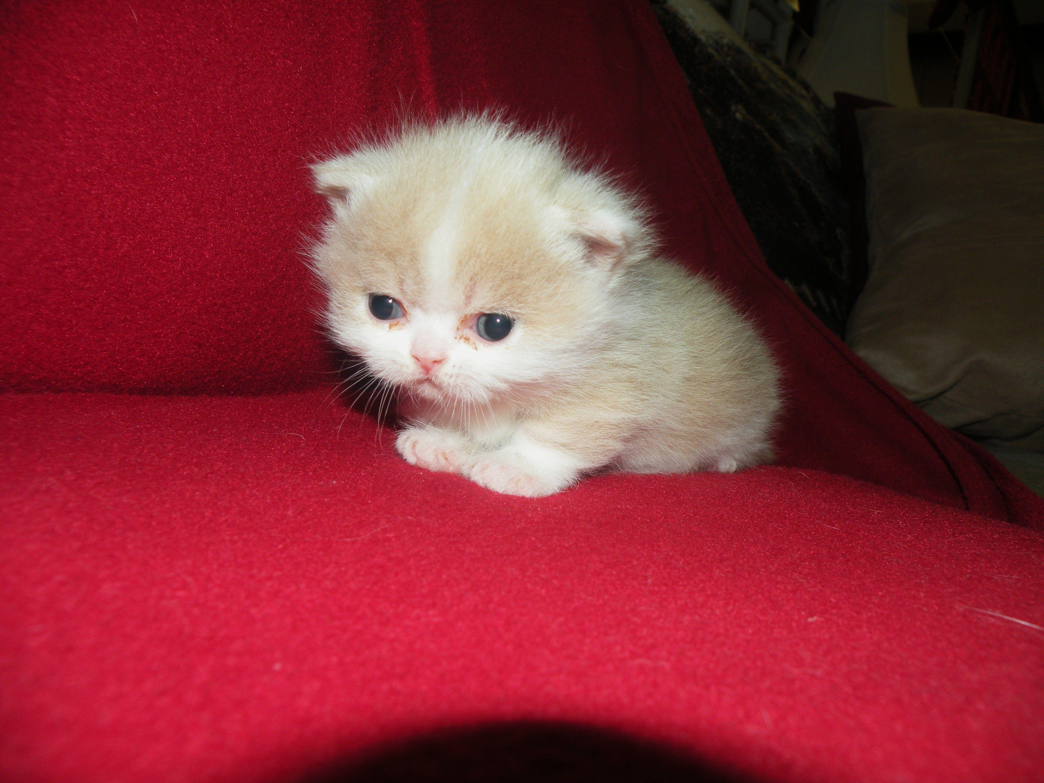 3 Week Old Napoleon Kitten Solomon Napoleon Cat Cats And Kittens Pets
