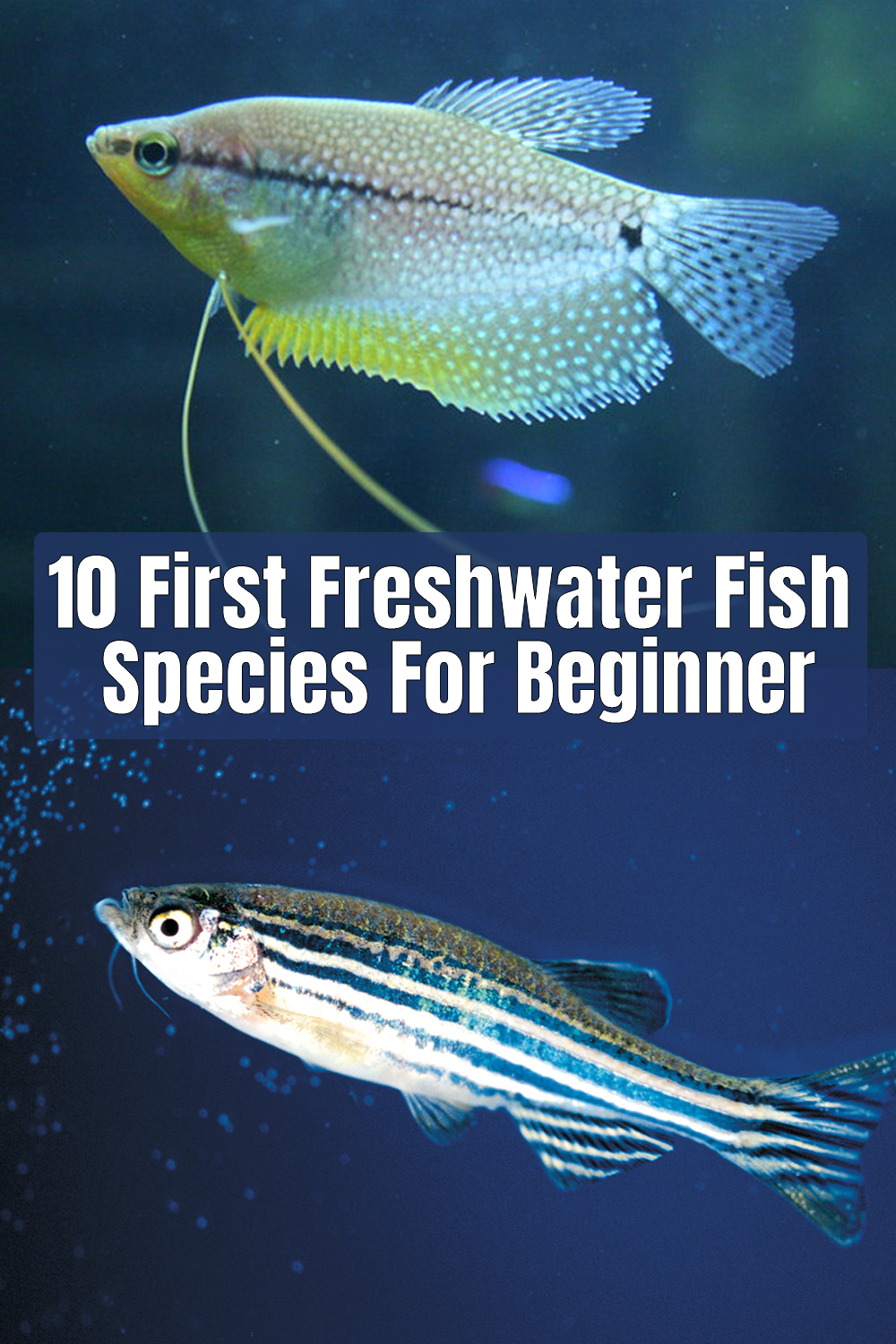 10 First Freshwater Fish Species For Beginner In 2020 Fish Freshwater Aquarium Fish Freshwater Fish