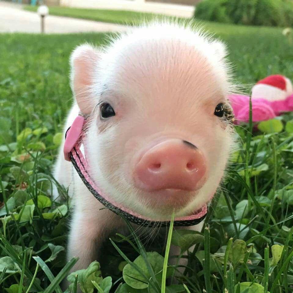 adorable♡♡ | Pig Care | Pinterest | Pet pigs, Teacup pigs ...
