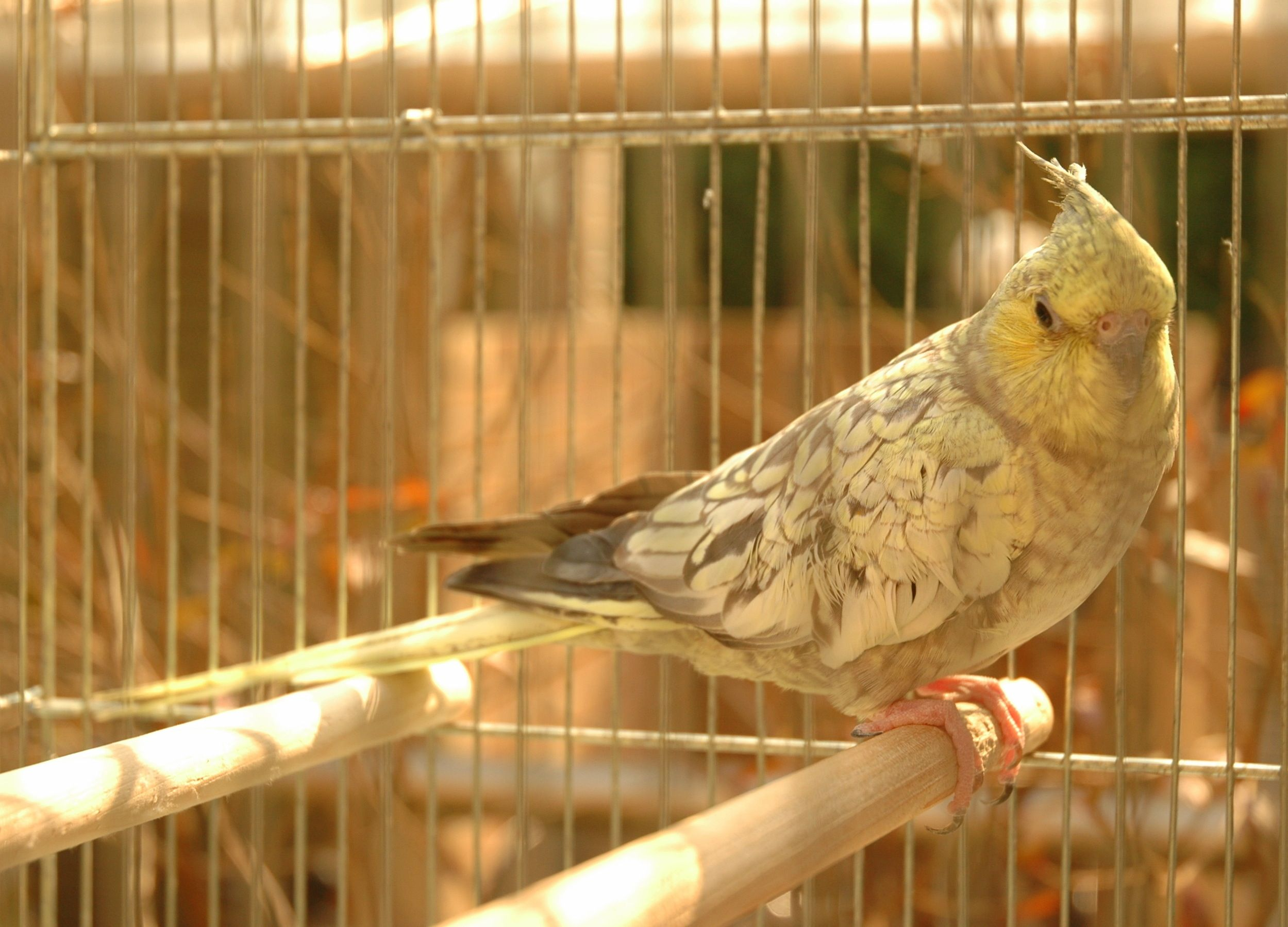 alice #cockatiel #bird