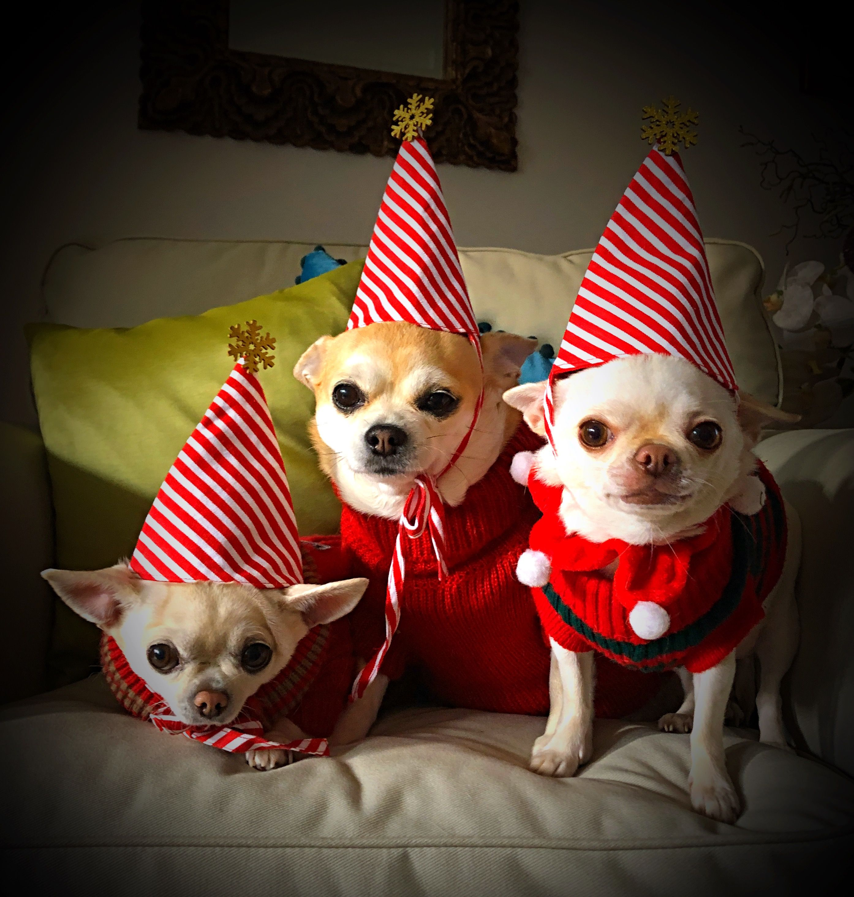 Pin By Tammy Vanburen On Mis Chihuahuas Cute Chihuahua Chihuahua Lover Cute Dogs