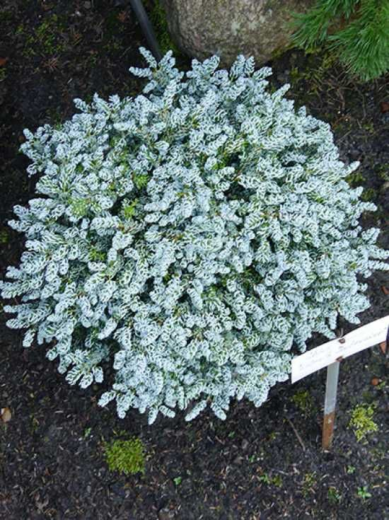Abies Koreana Kohouts Icebreaker Foliage Color Abies Koreana