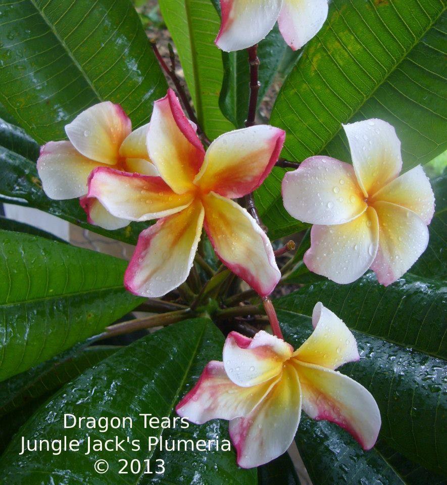 Dragon Tears Plumeria Plumeria Flowers Plumeria Plant Design