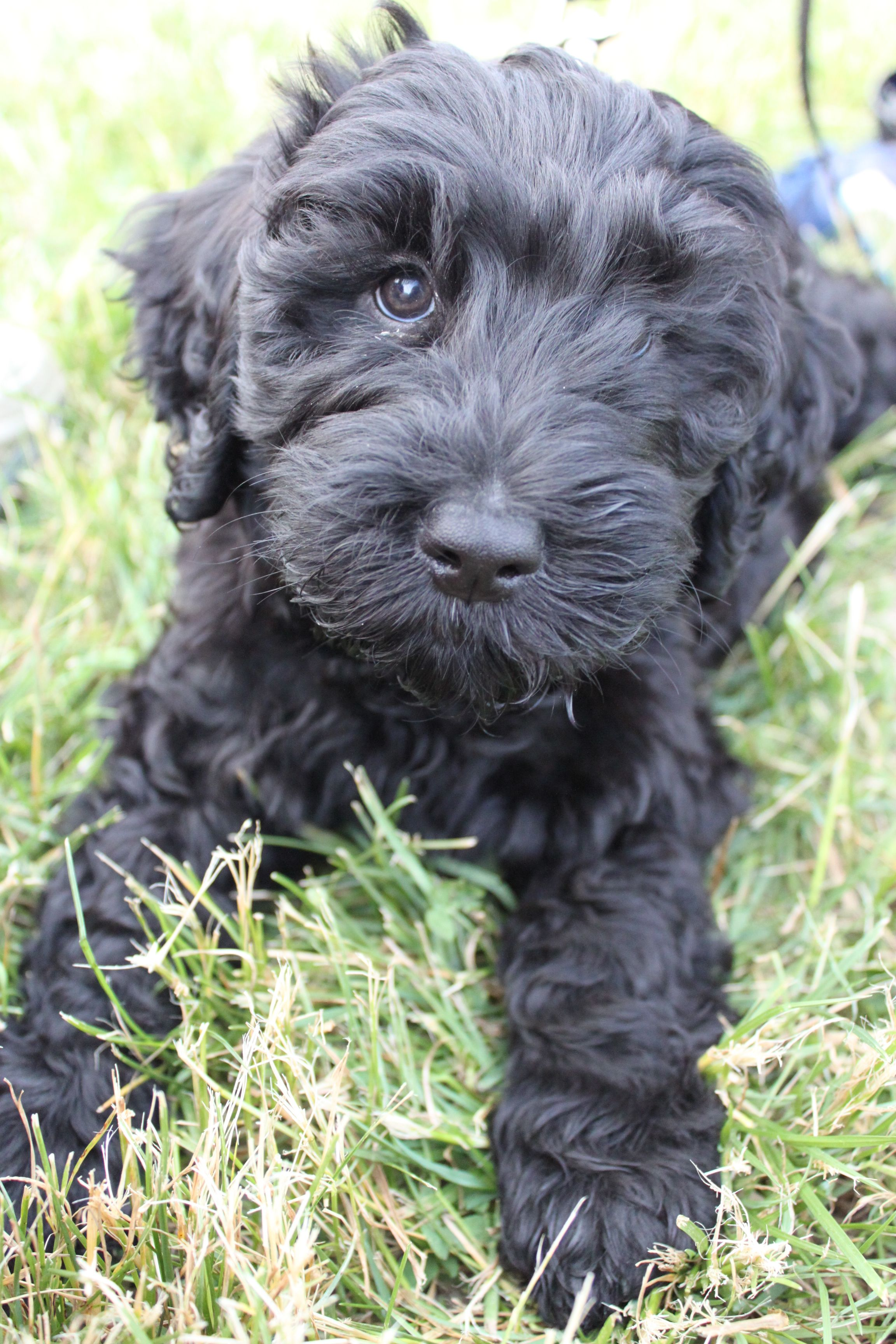 Barbet French Water Dogs Puppy Barbet Pinterest Dogs
