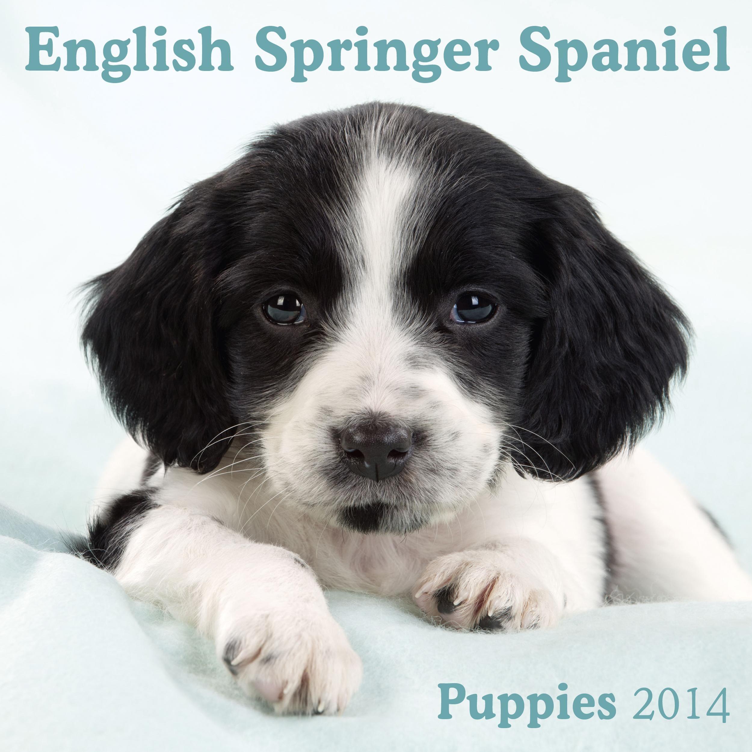English Springer Spaniel puppy cute calendar Springer