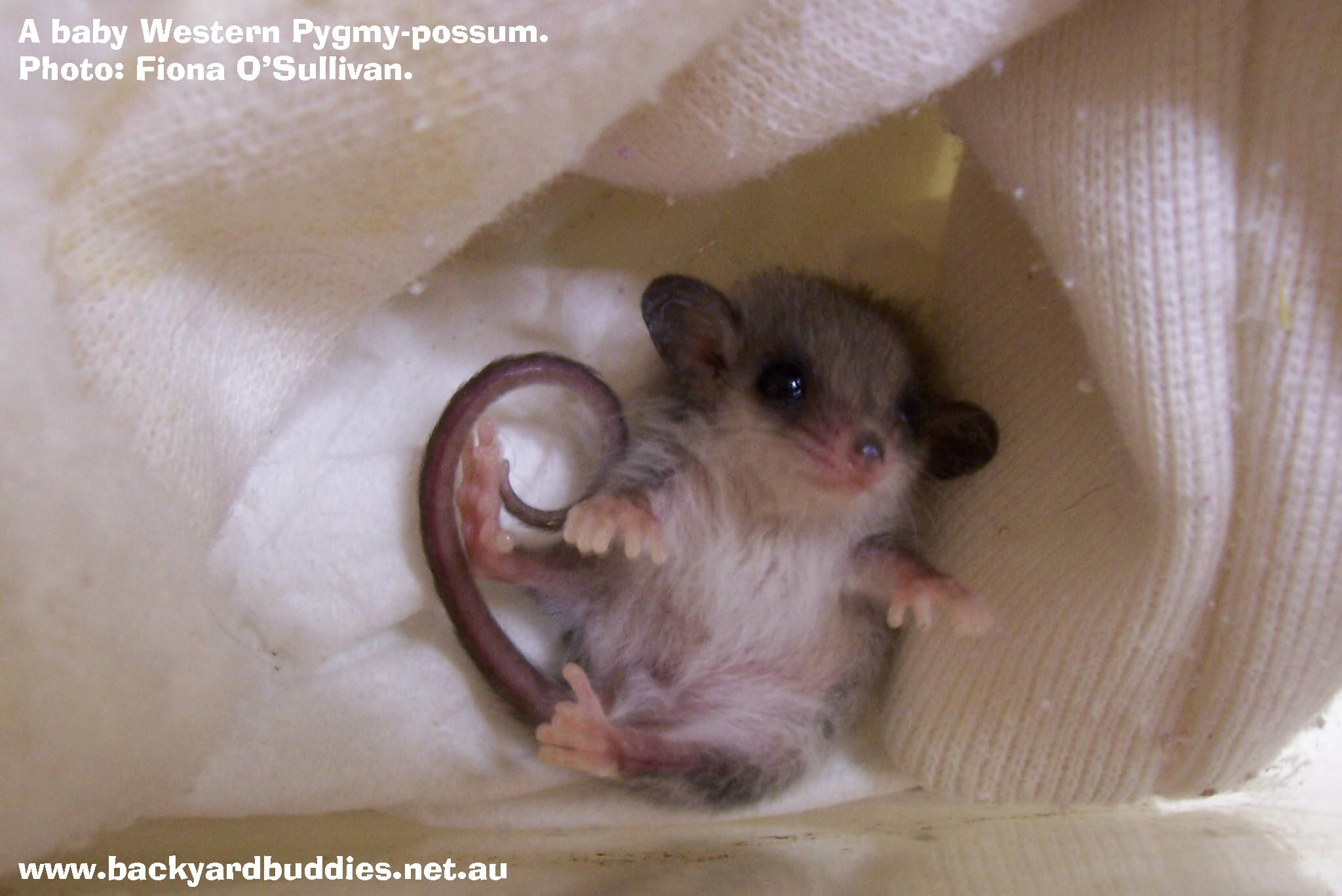 So Cute It S A Baby Western Pygmy Possum That Was Hand Reared By A Wildlife Carer Photo Fiona O Sullivan Via Www Facebo Cute Animals Animals Baby Animals