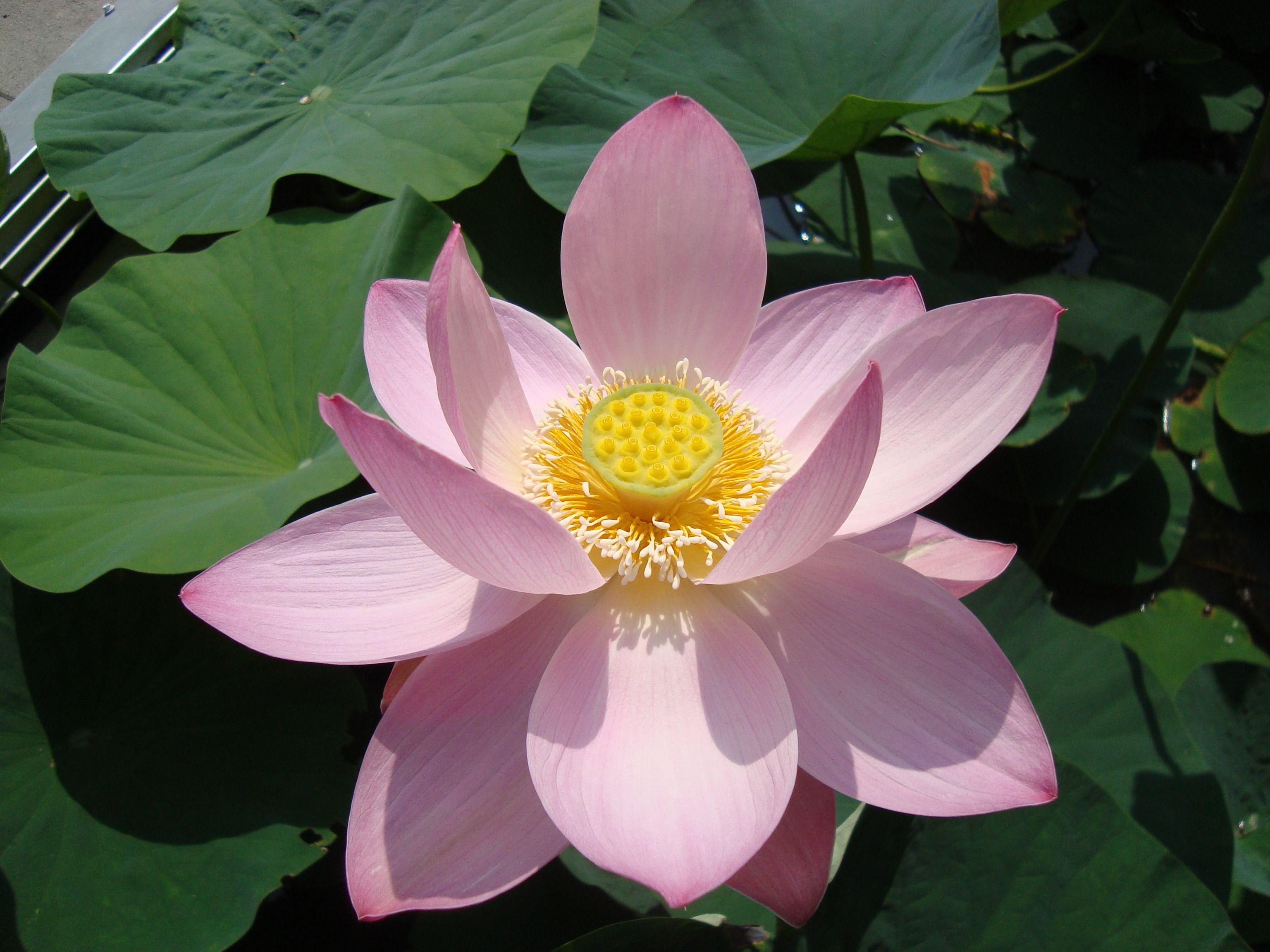 Nelumbo Nucifera Ssp Komarovii Siberian Lotus From Vladivostok
