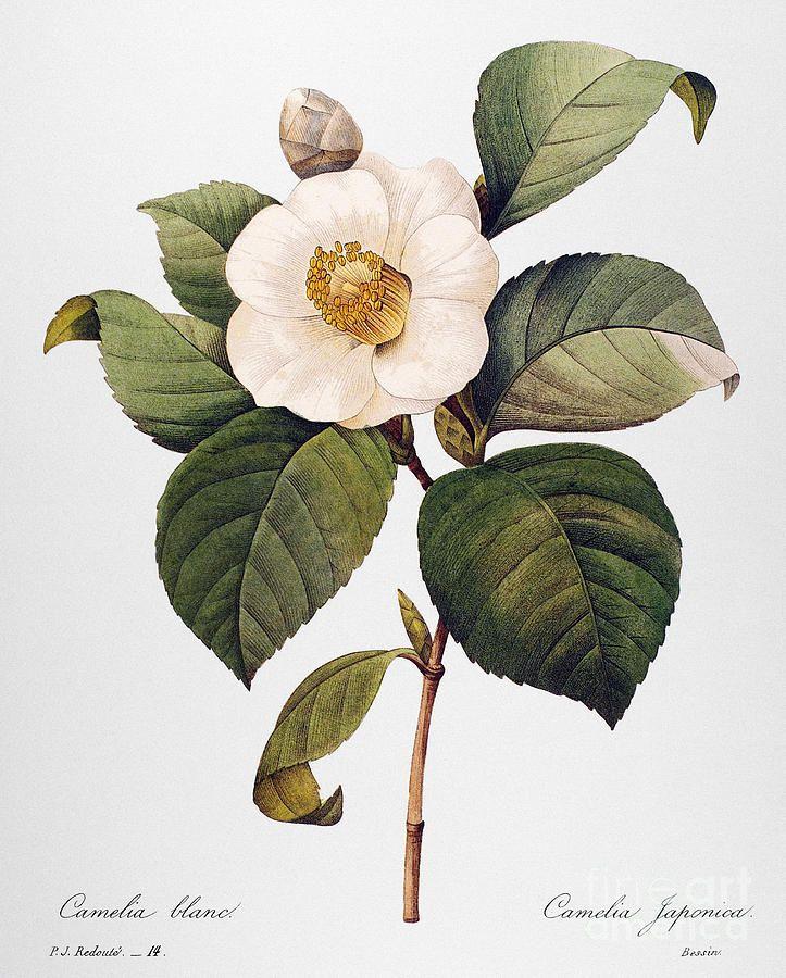 White Camellia By Granger Botanical Painting Botanical Flowers Print Botanical Flowers