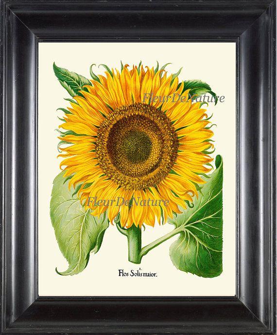 Sunflower Print Wall Art 12 Botanical Beautiful Antique Large Yellow ...