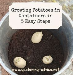 Growing Potatoes In Containers How To Plant Potatoes In Pots Container Potatoes Growing Potatoes Grow Potatoes In Container