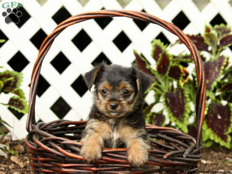 Yorkie-Chon Puppies For Sale In PA