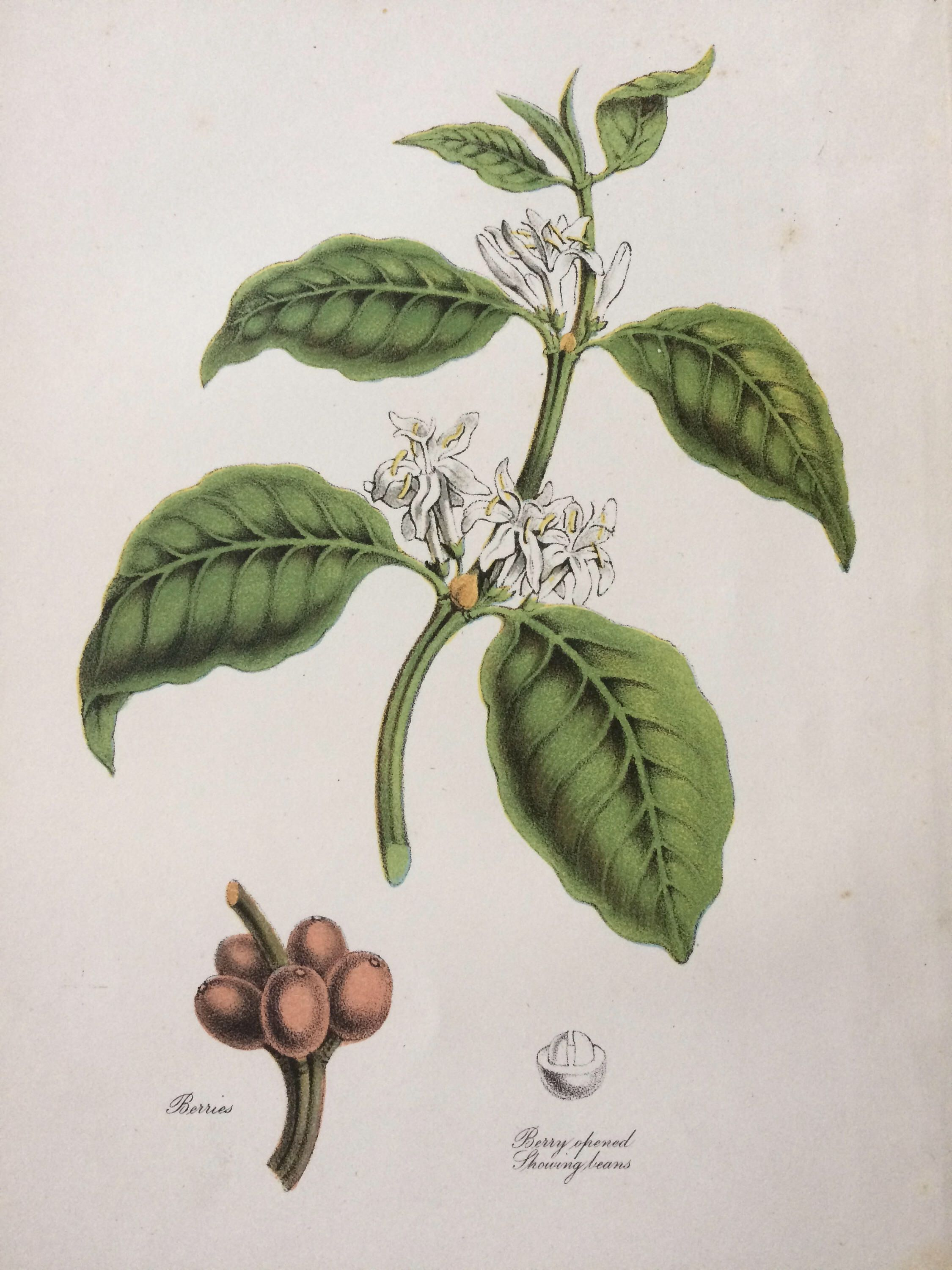 Your Place To Buy And Sell All Things Handmade Coffee Plant Botanical Wall Decor Engraving Illustration
