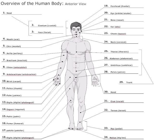 Full Diagram Of The Human Body Manual Guide