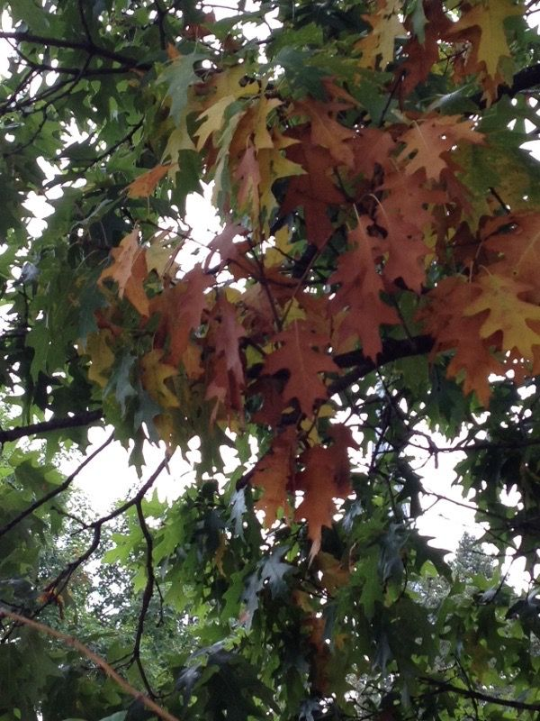 Free Plant Identification Foliage, Oak tree, Plants