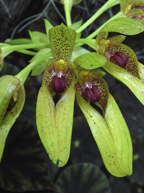 Bulbophyllum graveolens Navarre
