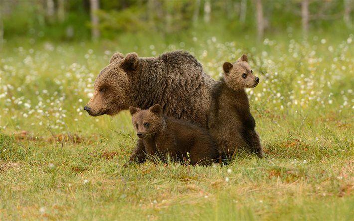 orsi grandi