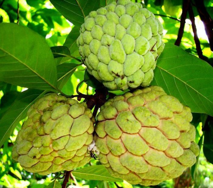 atis fruit aggregate fruit
