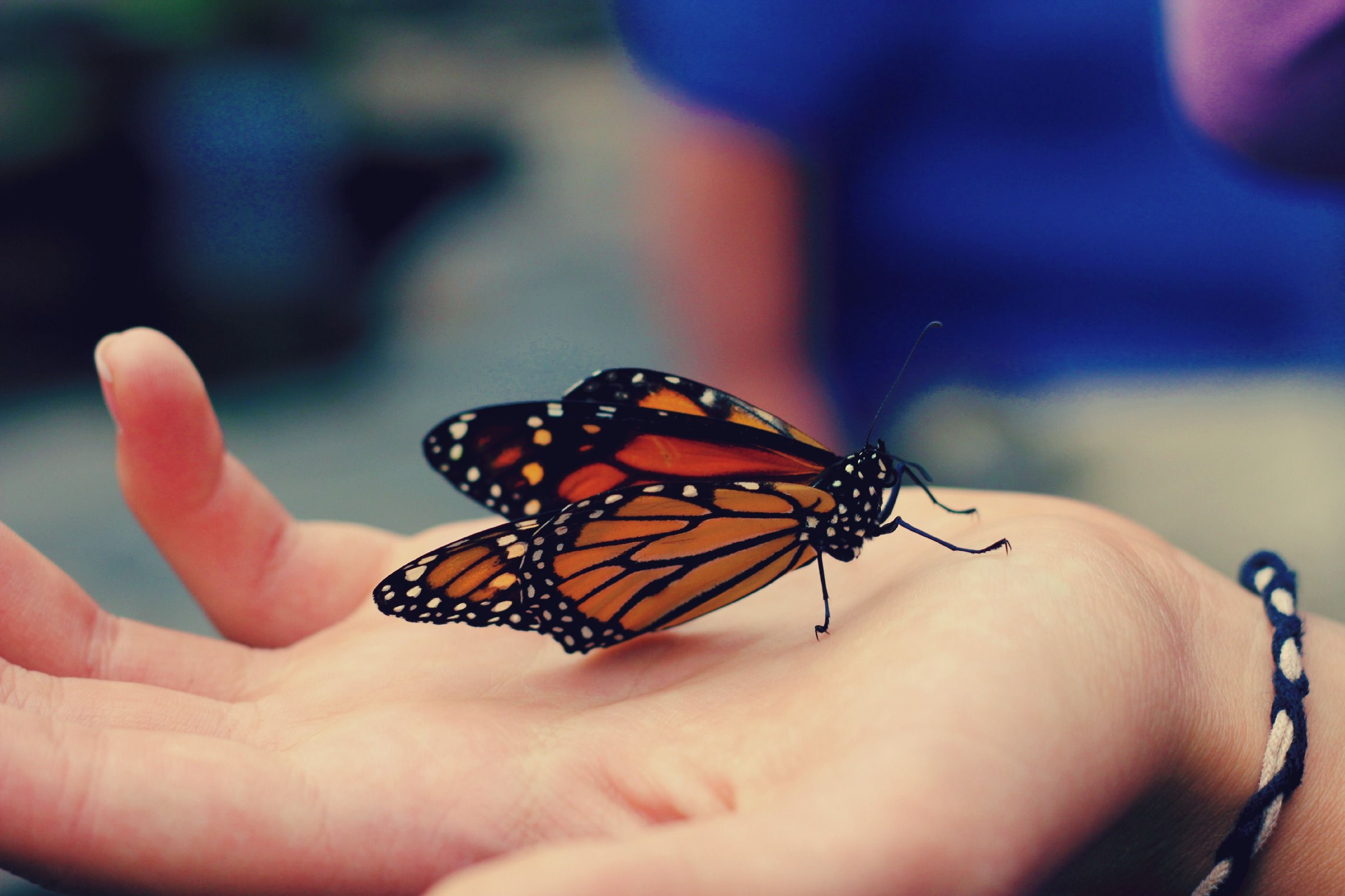 This Beautiful Monarch Butterfly At The Bronx Zoo In The Butterfly Garden    Shannon Goldkopf Photogtaphy