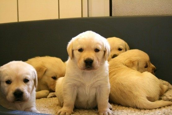 Labs - the cutest