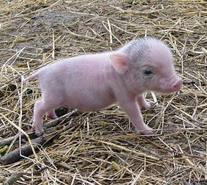 Free Potbelly Pigs for Sale | ... and miniature horses for ...