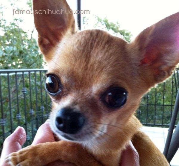 Big eyes! Chihuahua love, Chihuahua puppies, Baby dogs