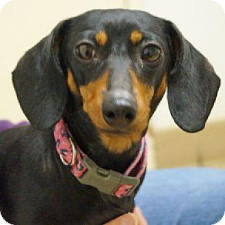 Eatontown Nj Dachshund Mix Meet Mindy A Dog For Adoption