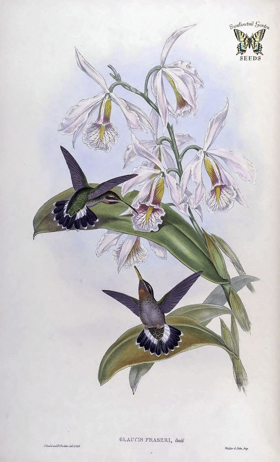 Peekaboo Orchid Cattleya Maxima Largest Cattleya Purple Lavender Flowers With Unique Yellow Stripe On Lips Bloom November And December Flower Illustration Orchid Illustration Hummingbird Art