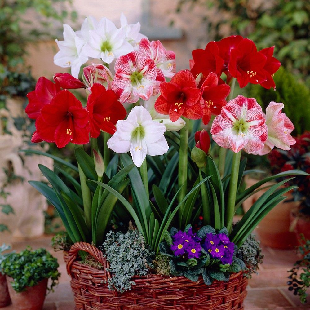 Breck S Flamenco Queen Amaryllis Hippeastrum Bulb 1 Pack 89741 The Home Depot Amaryllis Bulbs Bulb Flowers Amaryllis