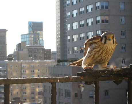 East Village Falcon - This falcon is, I'm guessing, almost a year old, since falcon mating season starts in late March. Yesterday I saw a much bigger one nearby, which had to be an adult. There are 13 breeding pairs of falcons in New York City.