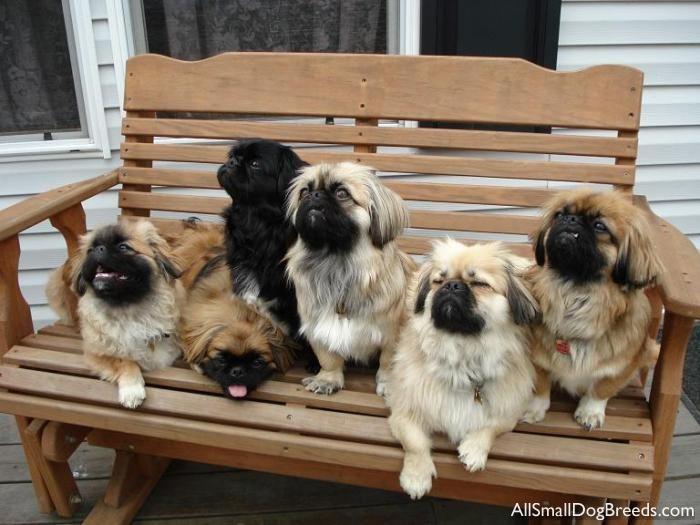 Follow The Piper Pekingese Dogs