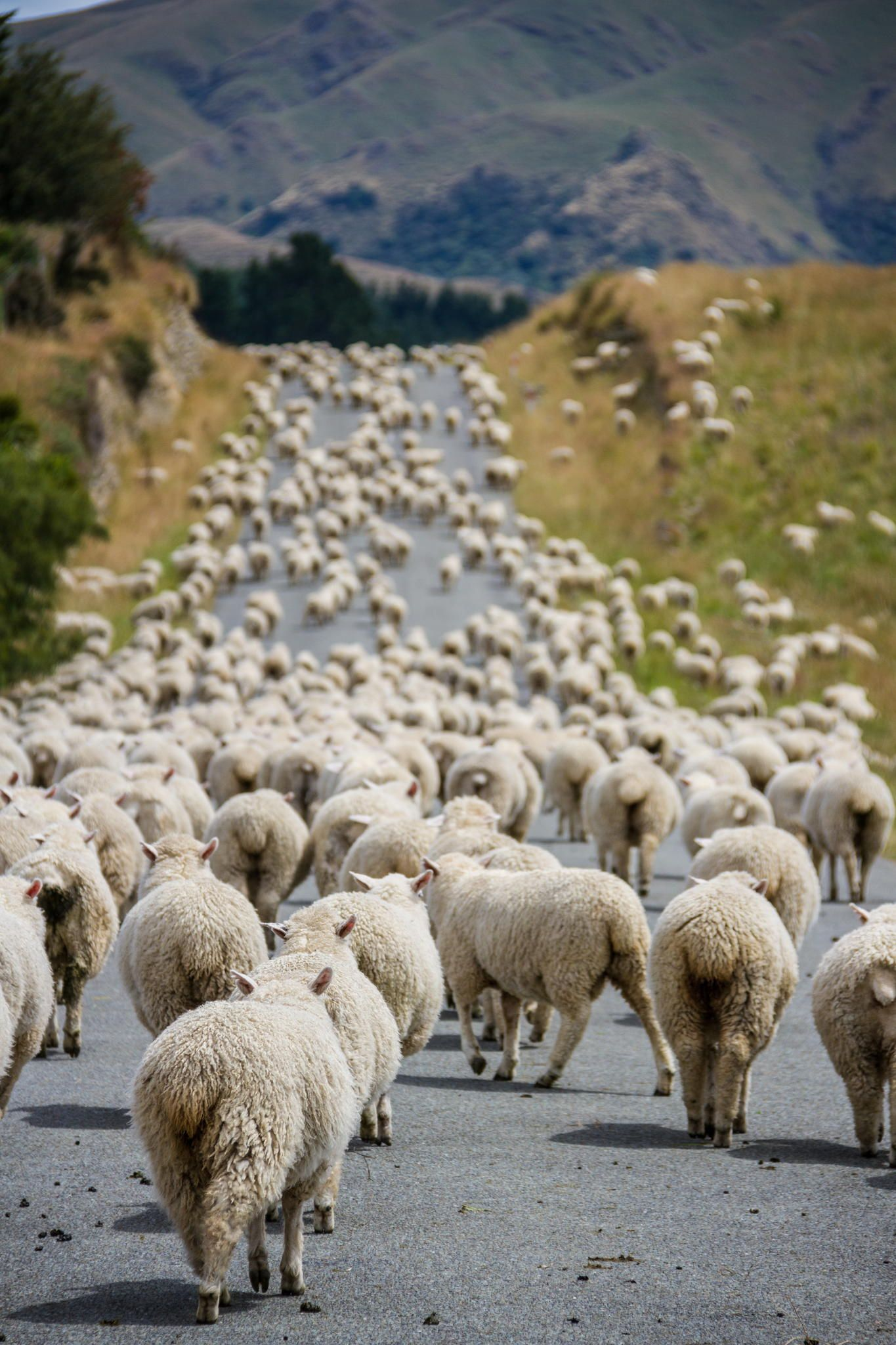 Image result for More sheep than people