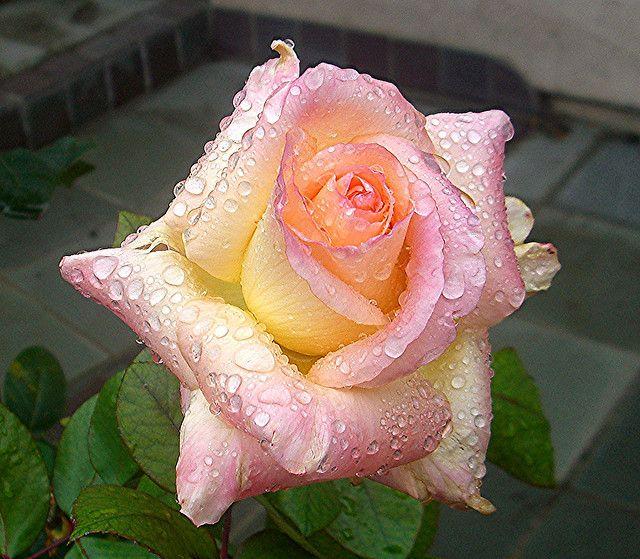 #Princess Diana Rose with...