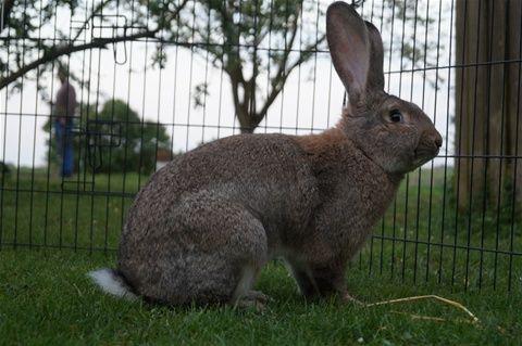 kanin belgisk kæmpe