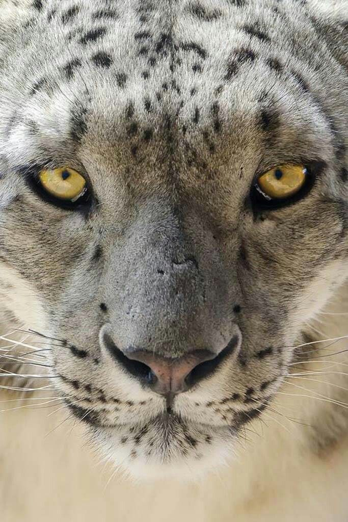 Pin by Robert Romberger on Big Cats (With images) Big