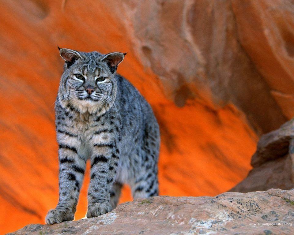 Animals, Animal wallpaper, Wild cats