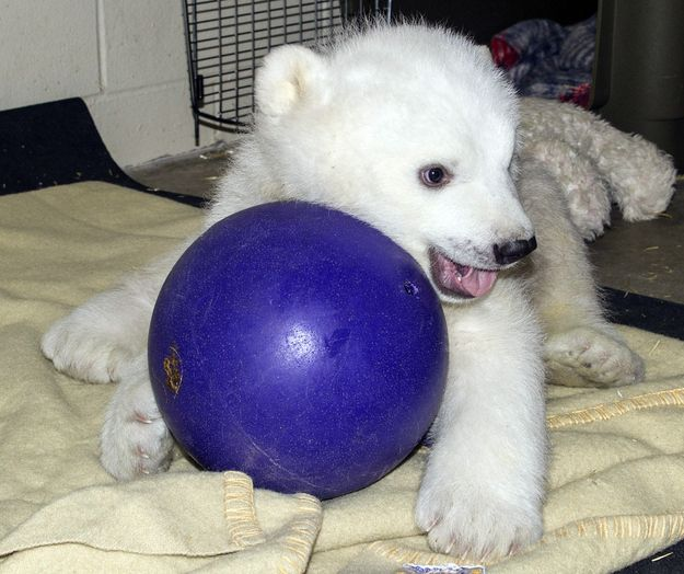 Reason 3: This photo | 21 Reasons Why Kali Is The World's Cutest Orphaned Baby Polar Bear