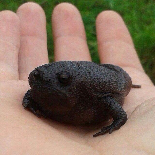 Amazing Frog: Black Frog, Amazing Frog