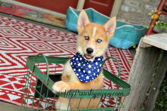 Denver Pomsky Puppy For Sale In Bowling Green Ky Lancaster